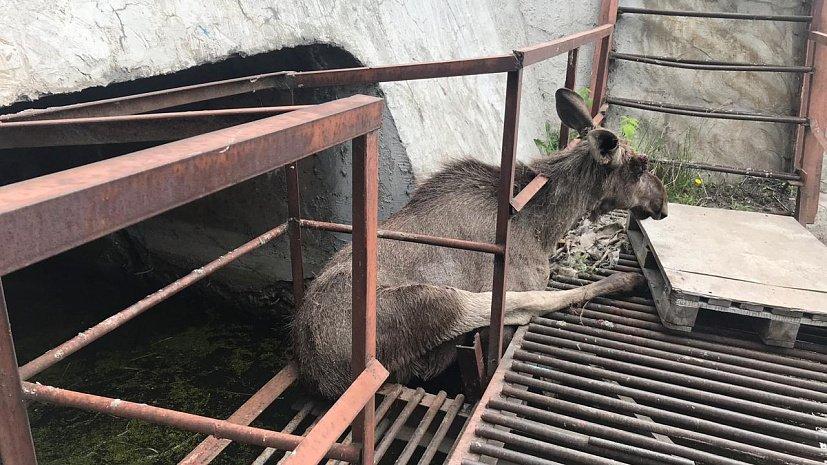 Лось застрял в тоннеле с водой в Челябинской области