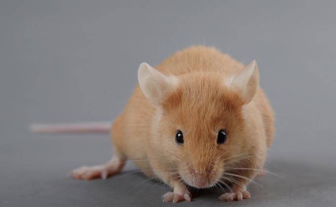 Депрессивных мышей-диабетиков топили в баке ученые