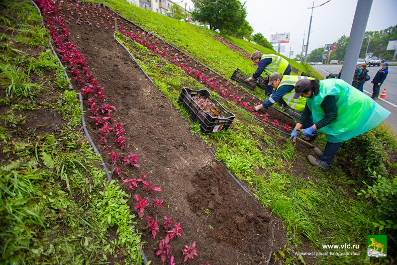 4. Около 6000 цветов украсят клумбу «Владивосток»  (18).jpg