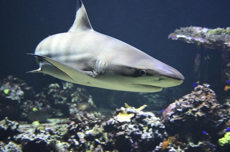 В Приморье поймали акулу