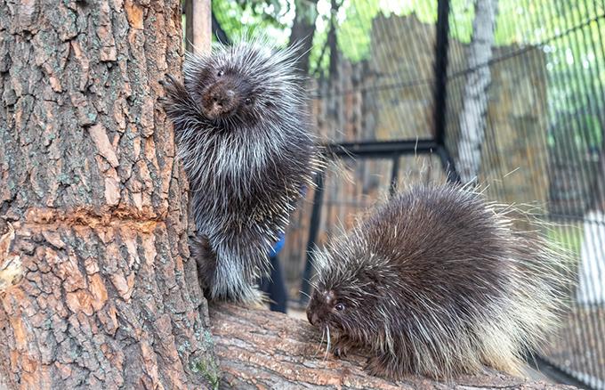 Уязвимые грызуны с тысячами иголок появились в Новосибирском зоопарке