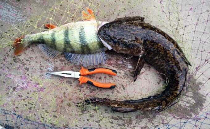 Рыба с крыльями и трехглазый окунь: шокирующие трофеи новосибирских рыбаков