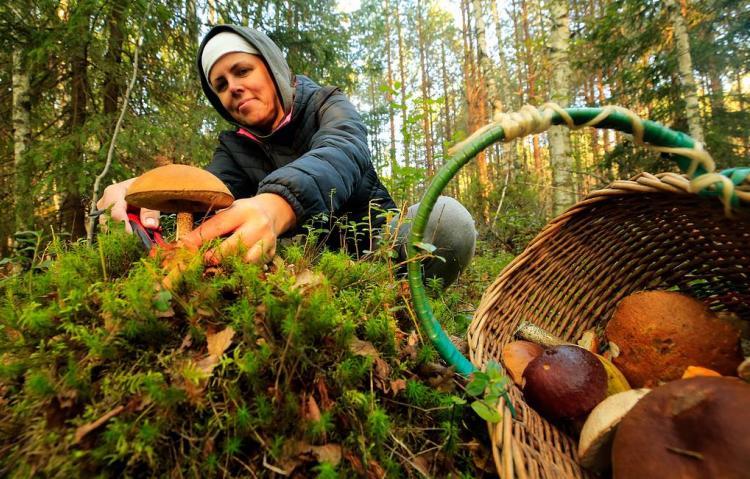 Сбор диких ягод и грибов будет контролироваться государством
