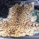 Приморцу грозит тюрьма за перевозку шкуры леопарда