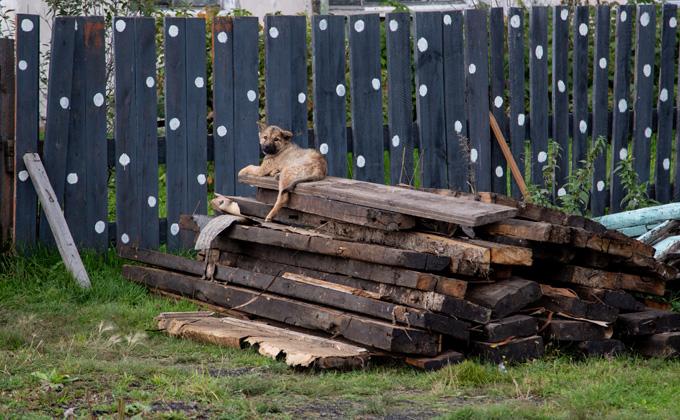 Стаи бродячих собак в Новосибирске – откуда они берутся?