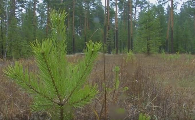 Больше высадили, чем вырубили: в регионе восстанавливают леса