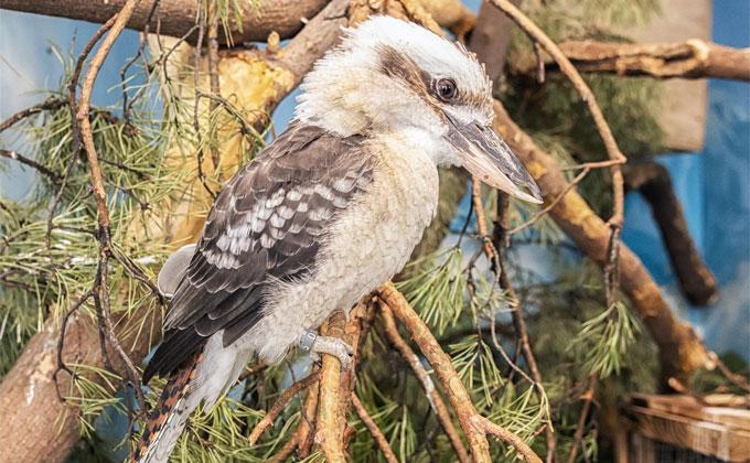 Смеющиеся птицы, пожирающие мясо, появились в Новосибирске