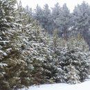 Цены на новогодние елки не меняются шесть лет в Новосибирске