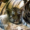 В Приморье застрелили тигренка