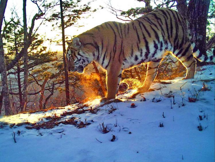 Красота тигров и леопардов из Приморья поразила экспертов