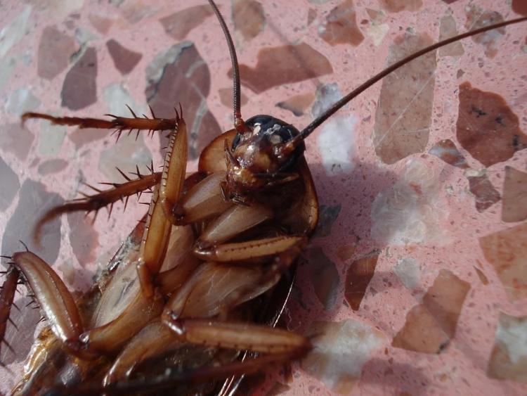 Дом в Приморье атаковали гигантские тараканы