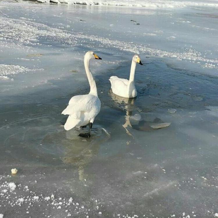 Специалисты объяснили, почему лебеди не улетели из Приморья на зимовку