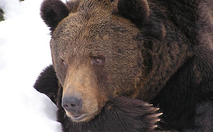 Медведь на веревке разгуливает по селу – жители в страхе