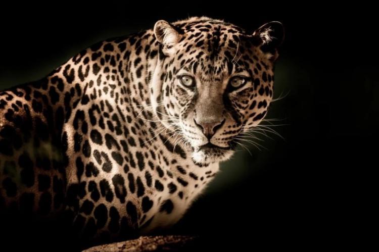 Дальневосточный леопард прибыл из Приморья в Москву на операцию