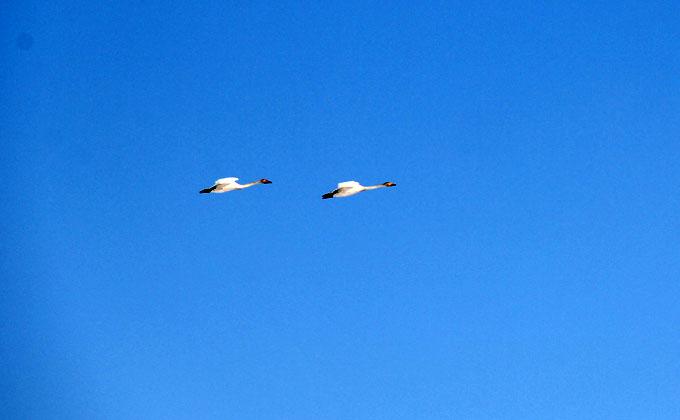 Лебеди и грачи прилетели весной-2020 в Новосибирскую область – фото