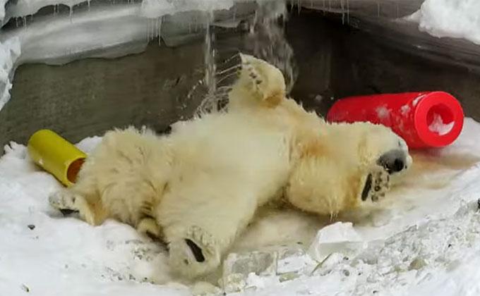 Белый медведь Кай обрадовался включению воды в вольере
