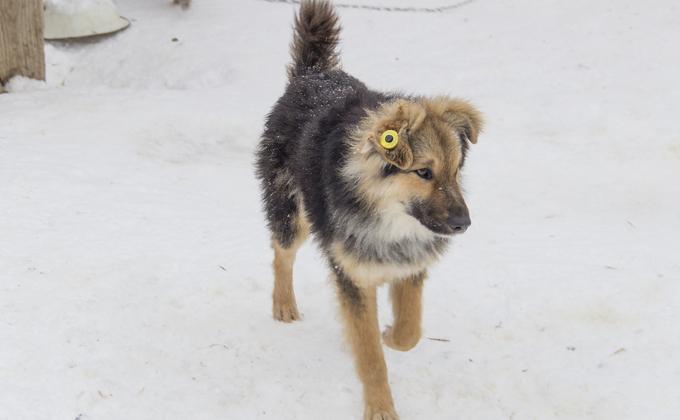 Бездомных собак с биркой в ухе возвращают на улицы