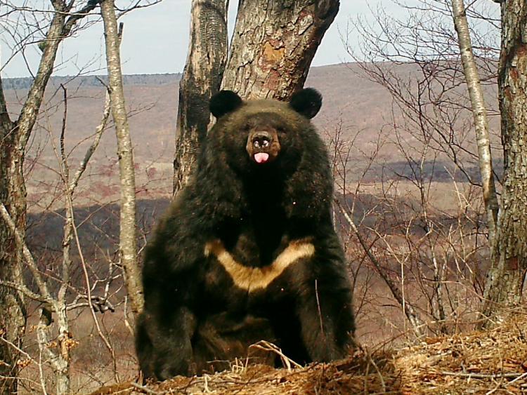 Учёные «Земли леопарда» подсчитали количество медведей