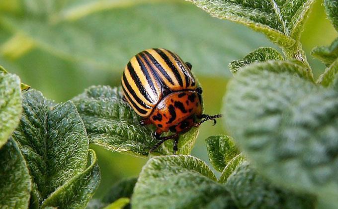 Народные способы борьбы с колорадским жуком – от уксуса до девственниц