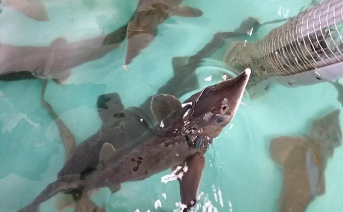 Древнюю рыбу разводят в реках области при господдержке
