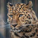 Дальневосточный леопард появился в Новосибирском зоопарке