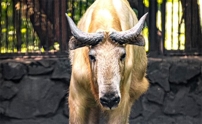 Золотистых такинов завезли в Новосибирский зоопарк – единственных в России
