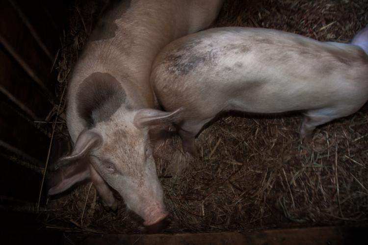 В Приморье один из районов смог победить африканскую чуму свиней