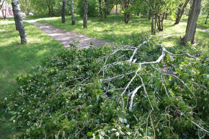 Старый клен упал на бабушку в Новосибирске и едва не лишил ее жизни
