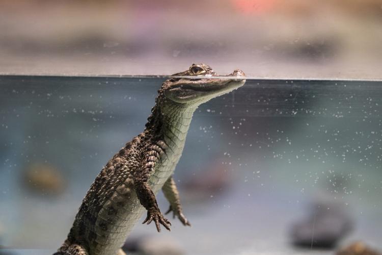 Ролик о том, как плавают крокодилы, набирает популярность
