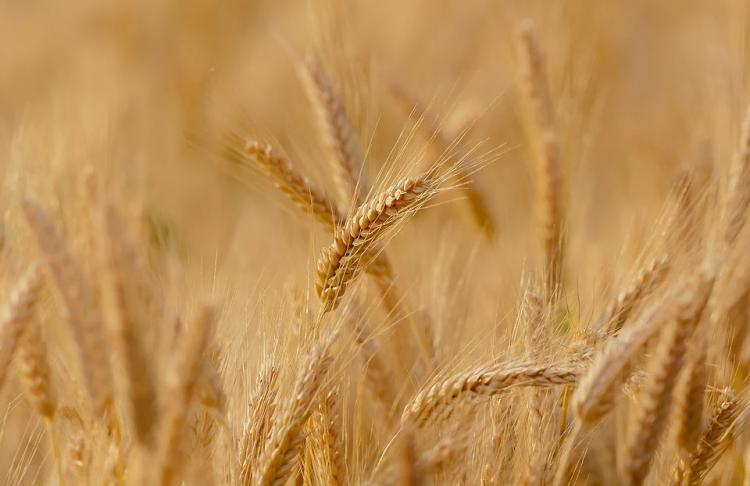 В Приморье обнаружена партия ядовитой пшеницы