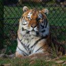 Жителям Владивостока предлагают выполнить необычные рисунки тигра