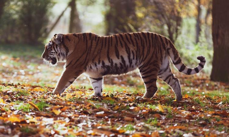 Изображение тигра из Приморья стало лучшим фото дикой природы-2020