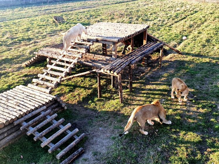 У приморцев есть уникальная возможность увидеть редчайших белых львов