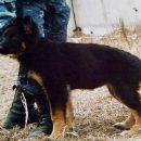Овчарка Берта поймала 22-летнего грабителя в Линево