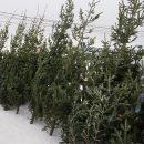 Три тысячи пихт привезли в Новосибирск к Новому году