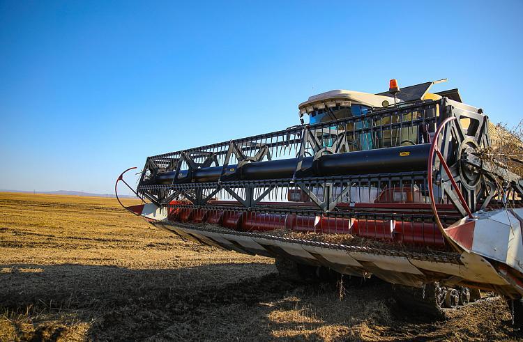 Кукуруза Приморья из-за циклона не пострадала