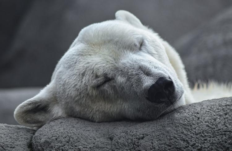 Рёв тигра не такой страшный: белый медведь напал на биолога из Приморья