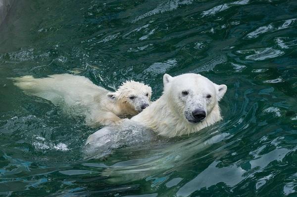 Медвежат Шайни и Норди разлучили в Новосибирском зоопарке