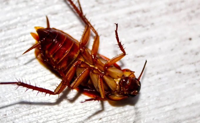 Вероятность массового возвращения тараканов оценили ученые