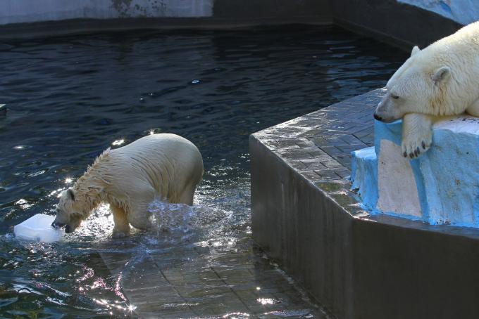 Новосибирский зоопарк решил отдать медвежат Шайни и Норди