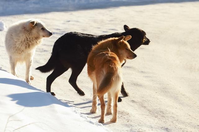 Бродячие псы разорвали собаку жителя Оби