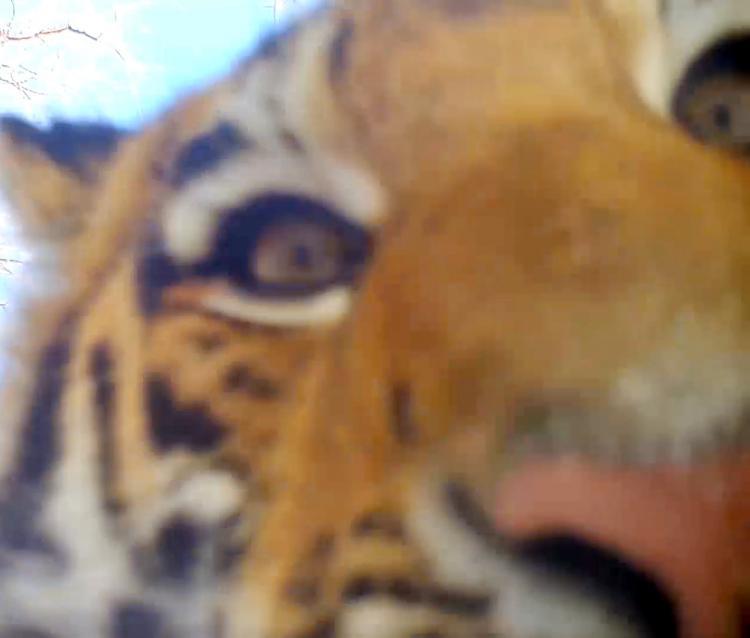 В Приморье любопытные тигрята «расправились» с фотоловушкой