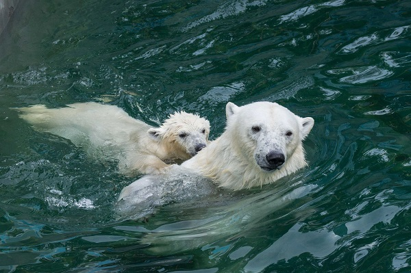 Остановить продажу белых медвежат Шайны и Норди требуют новосибирцы