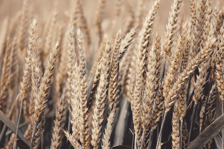«Новые технологии?»: зерно из большегруза рассыпалось по дороге в Приморье