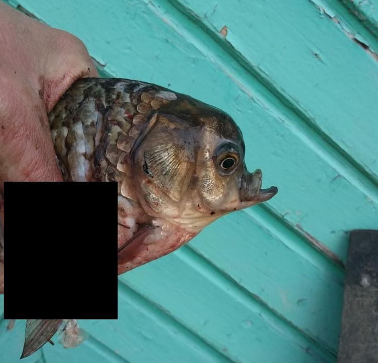 «Лучше подарить эту аномальную особь ихтиологам»: учёный – о рыбе-мутанте