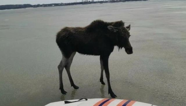 Лосенка, дрейфовавшего на льдине в Обском море, спасли сотрудники МЧС