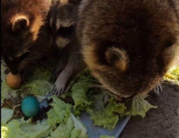Новосибирский зоопарк накормил енотов пасхальными яйцами
