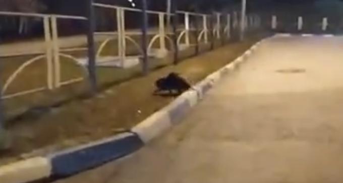 Спас бобра на оживленной трассе таксист в Новосибирске