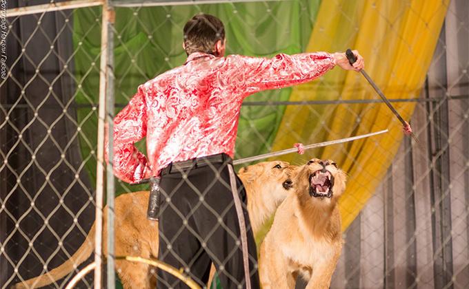 Львица напала на дрессировщика цирка-шапито в Новосибирской области