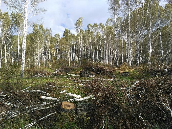 Массовую вырубку леса обнаружили в бассейне реки Издревая